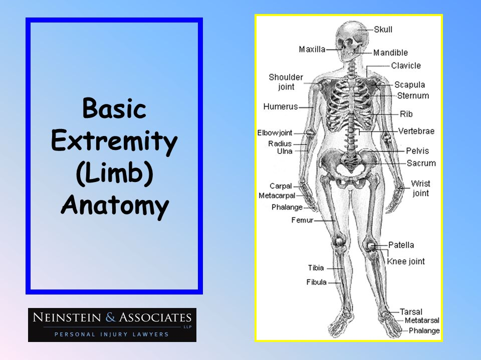 Basic Extremity (Limb) Anatomy