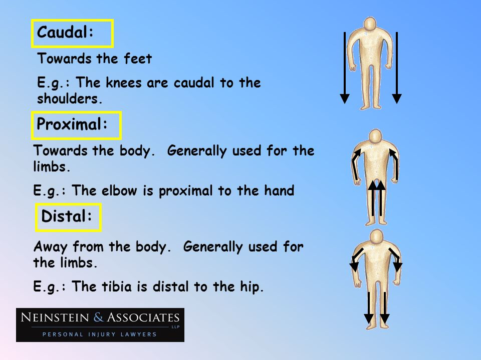 Caudal: Proximal: Distal: Towards the feet