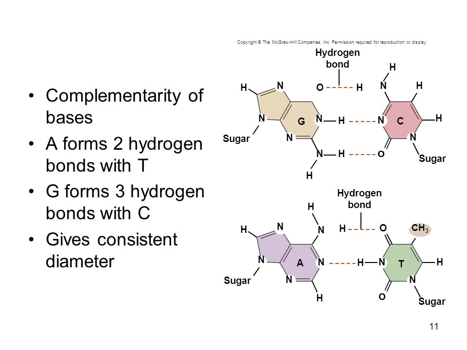 Complementarity of bases A forms 2 hydrogen bonds with T