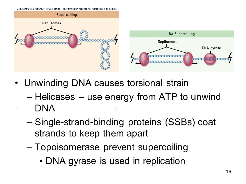 Unwinding DNA causes torsional strain
