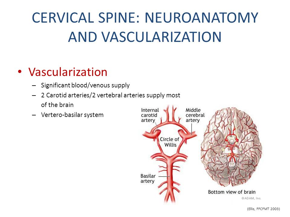 CERVICAL SPINE: NEUROANATOMY AND VASCULARIZATION