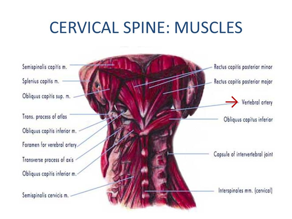 CERVICAL SPINE: MUSCLES
