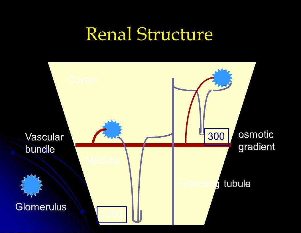 Renal Structure U Cortex U osmotic Vascular 300 gradient bundle