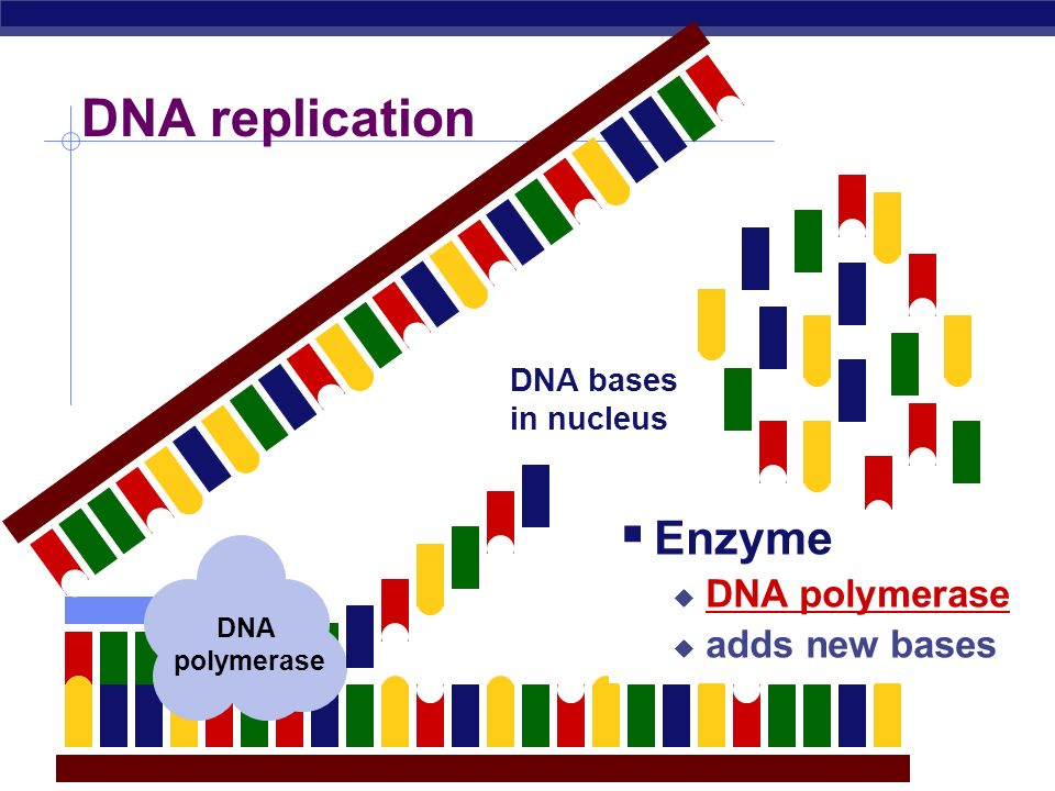 DNA replication Enzyme DNA polymerase adds new bases