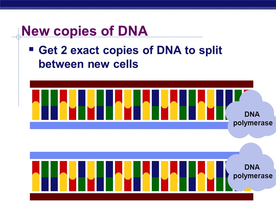 New copies of DNA Get 2 exact copies of DNA to split between new cells