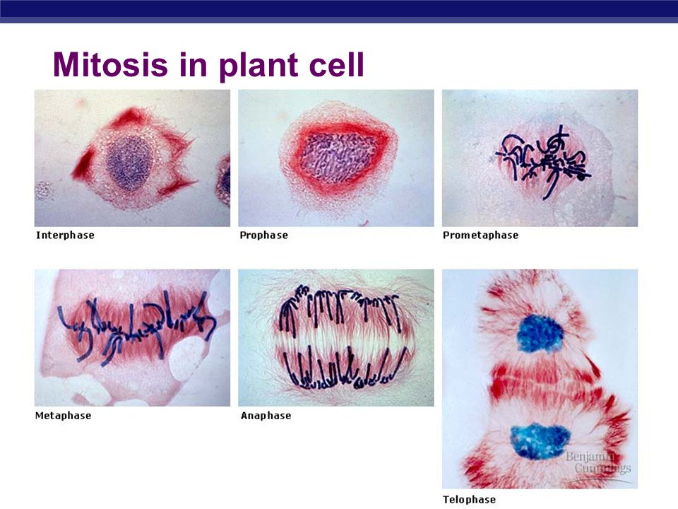 Mitosis in plant cell