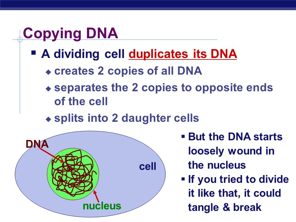 Copying DNA A dividing cell duplicates its DNA