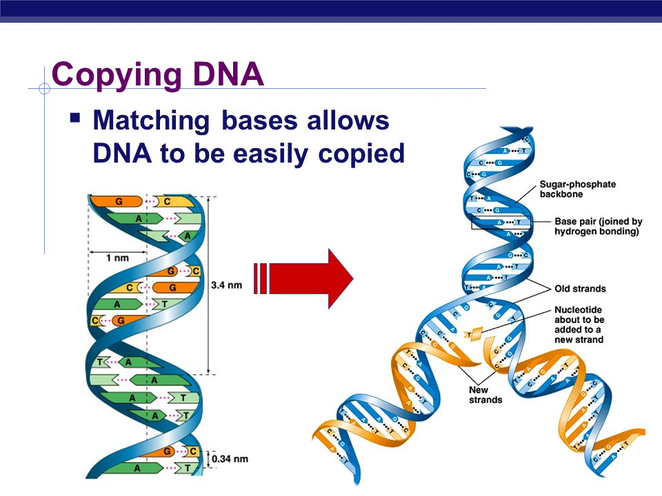 Copying DNA Matching bases allows DNA to be easily copied
