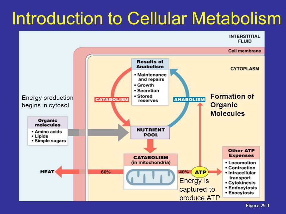Introduction to Cellular Metabolism