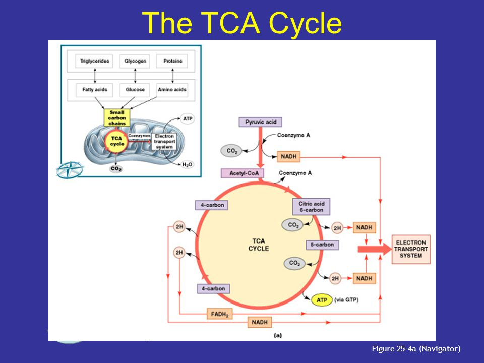 The TCA Cycle PLAY TCA Cycle Figure 25–4a (Navigator)