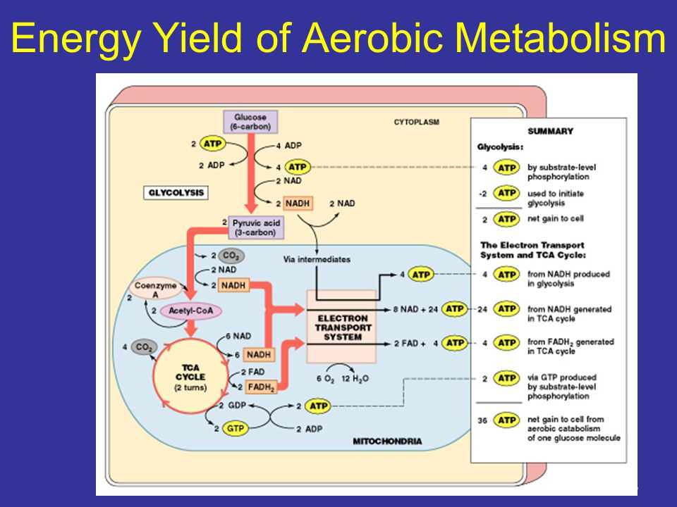 Energy Yield of Aerobic Metabolism