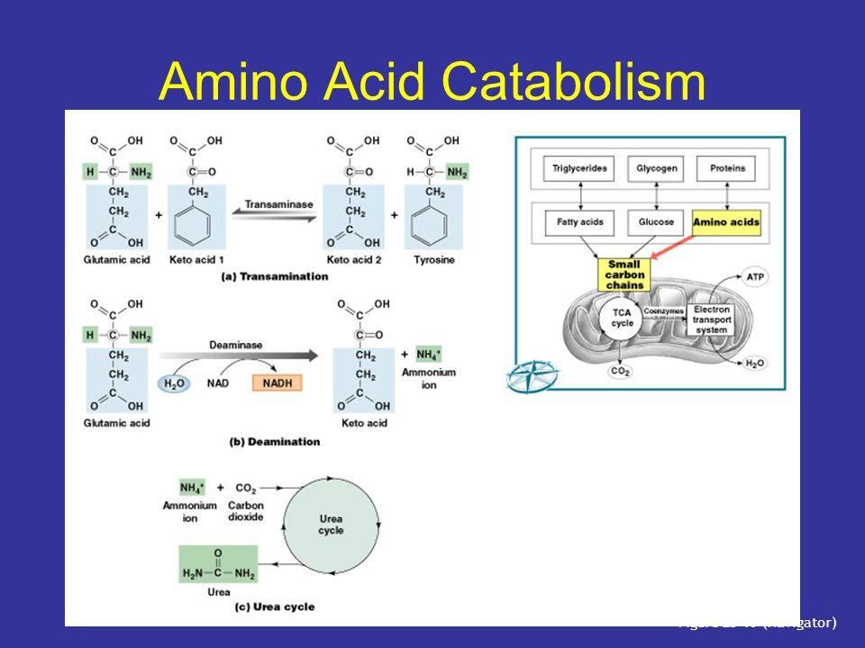 Amino Acid Catabolism Figure 25–10 (Navigator)