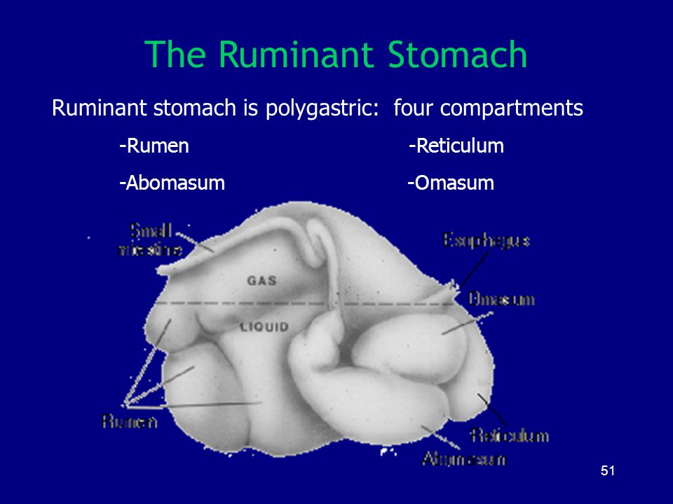 The Ruminant Stomach Ruminant stomach is polygastric: four compartments. -Rumen -Reticulum.