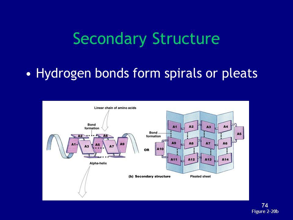 Secondary Structure Hydrogen bonds form spirals or pleats Figure 2–20b