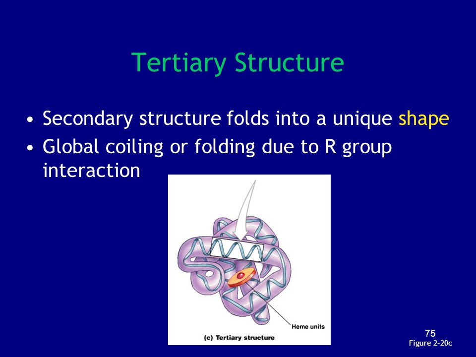 Tertiary Structure Secondary structure folds into a unique shape