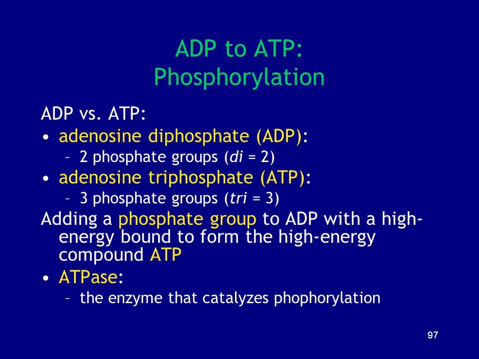ADP to ATP: Phosphorylation