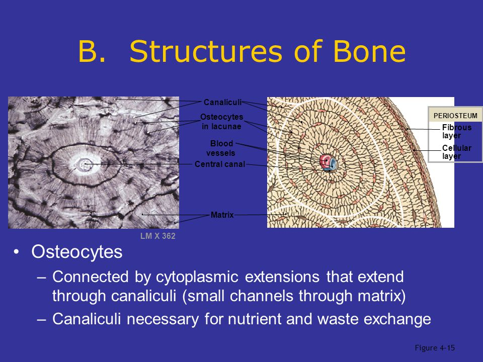 B. Structures of Bone Osteocytes