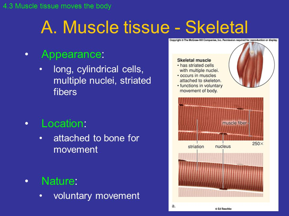 A. Muscle tissue - Skeletal