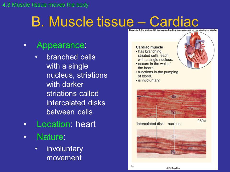 B. Muscle tissue – Cardiac