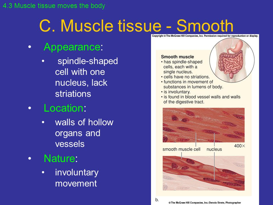 C. Muscle tissue - Smooth