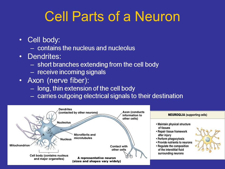 Cell Parts of a Neuron Cell body: Dendrites: Axon (nerve fiber):