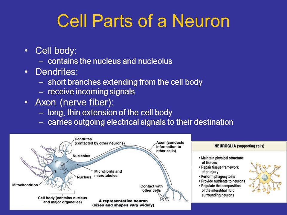 Cell Parts of a Neuron Cell body: Dendrites: Axon (nerve fiber):