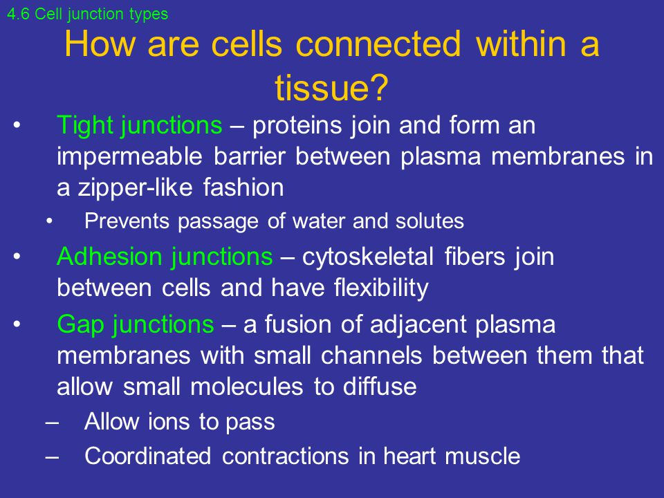 How are cells connected within a tissue