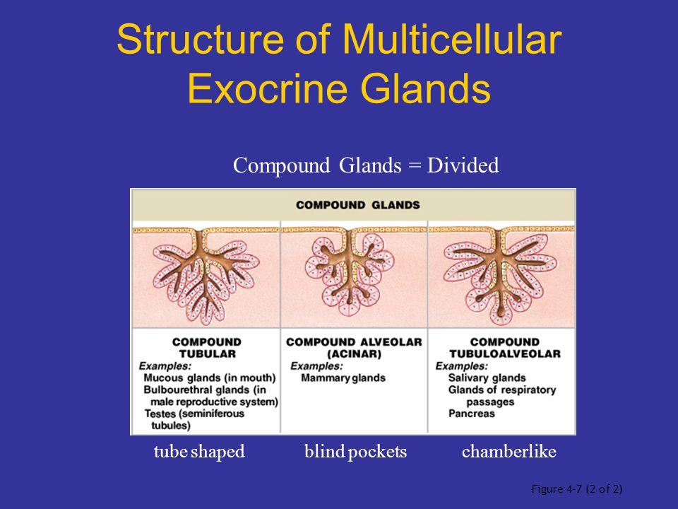 Structure of Multicellular Exocrine Glands