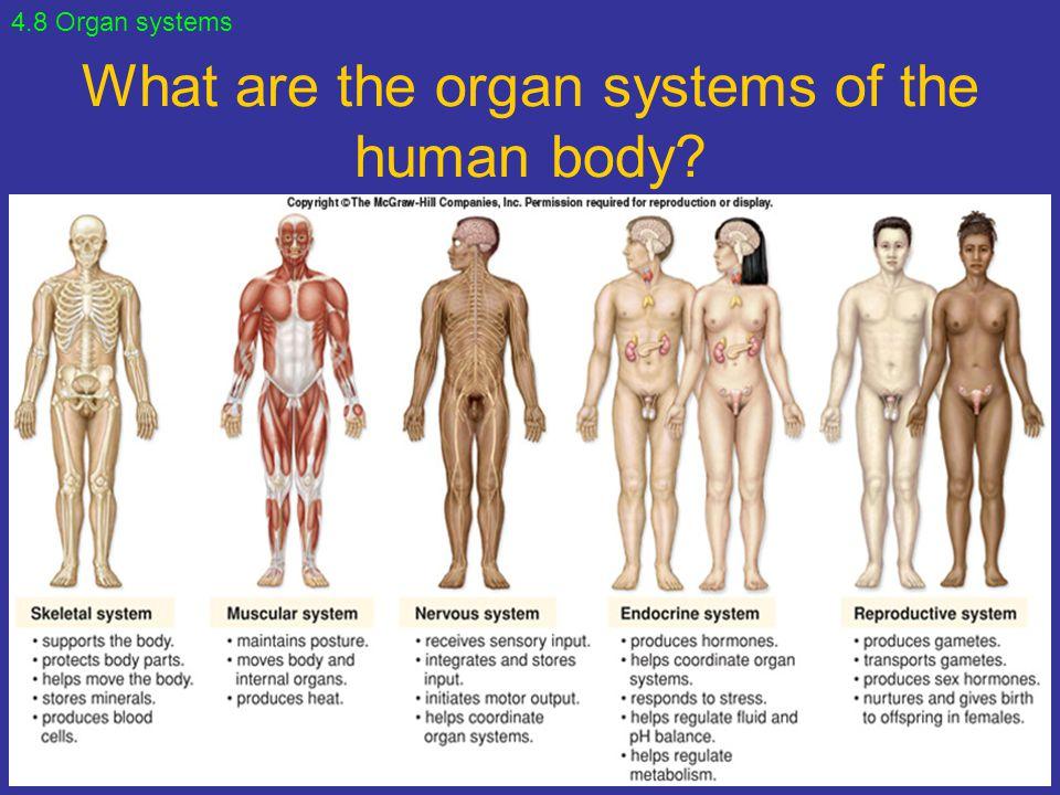 Atemberaubend Menschliche Anatomie Organsysteme Galerie - Anatomie ...