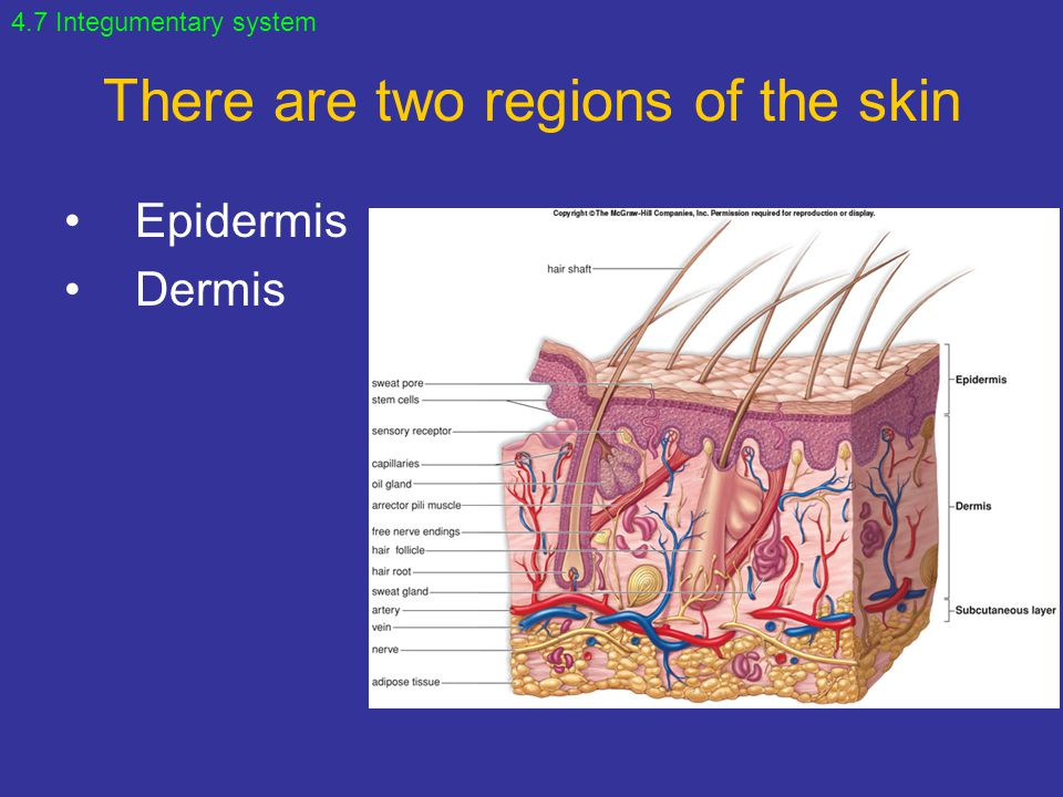 There are two regions of the skin