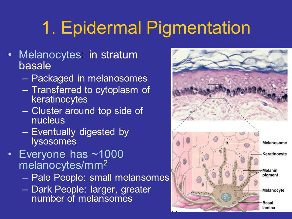1. Epidermal Pigmentation