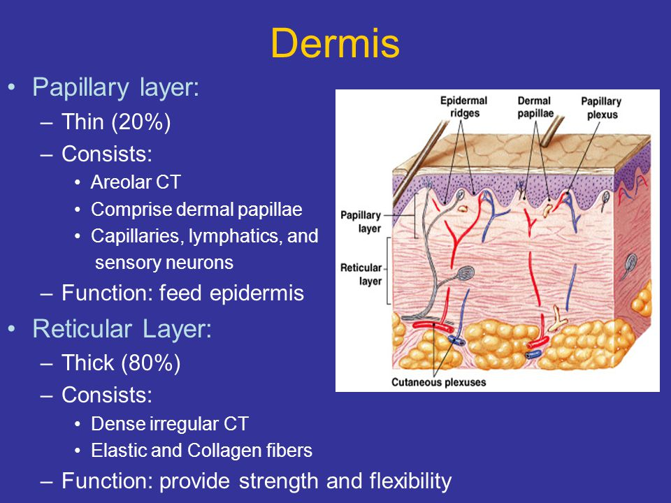 Dermis Papillary layer: Reticular Layer: Thin (20%) Consists: