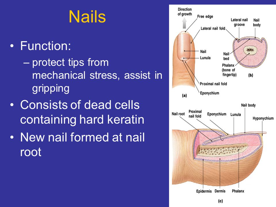 Nails Function: Consists of dead cells containing hard keratin