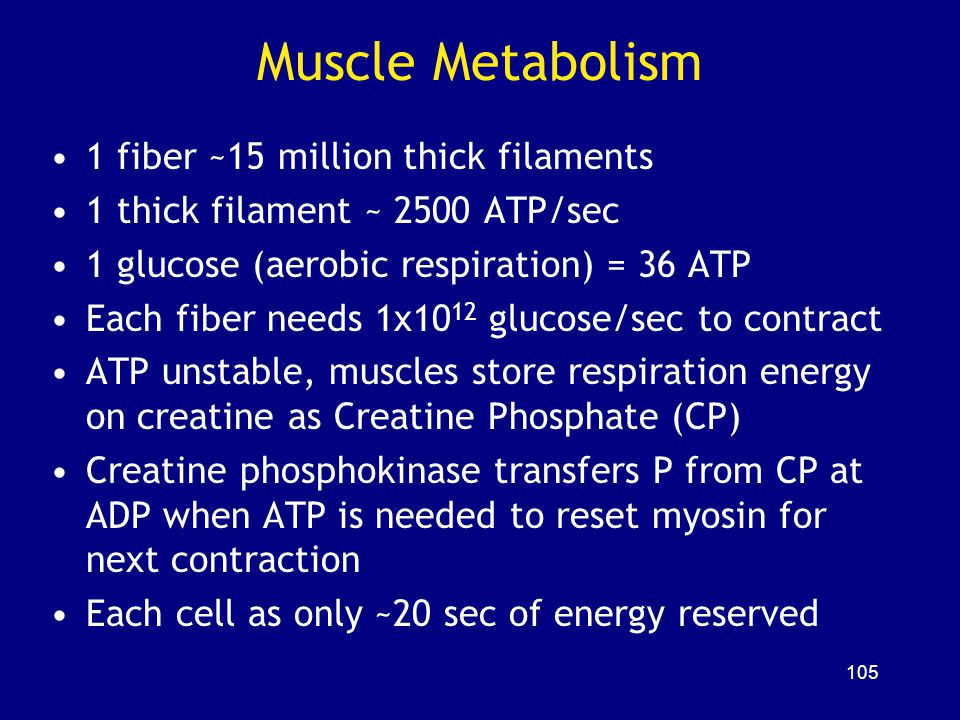 Muscle Metabolism 1 fiber ~15 million thick filaments