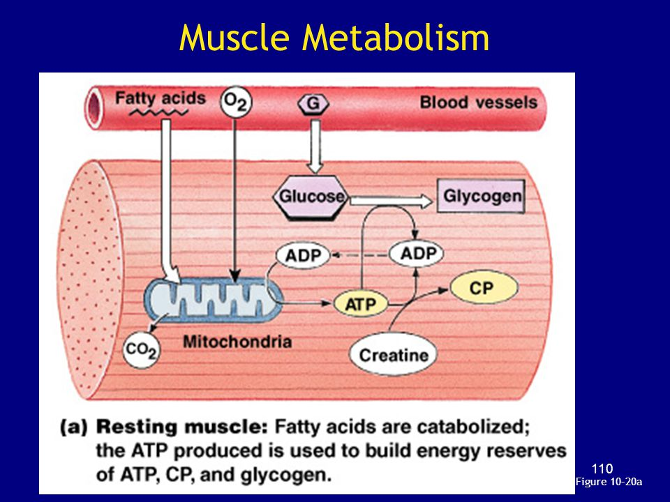 Muscle Metabolism Figure 10–20a