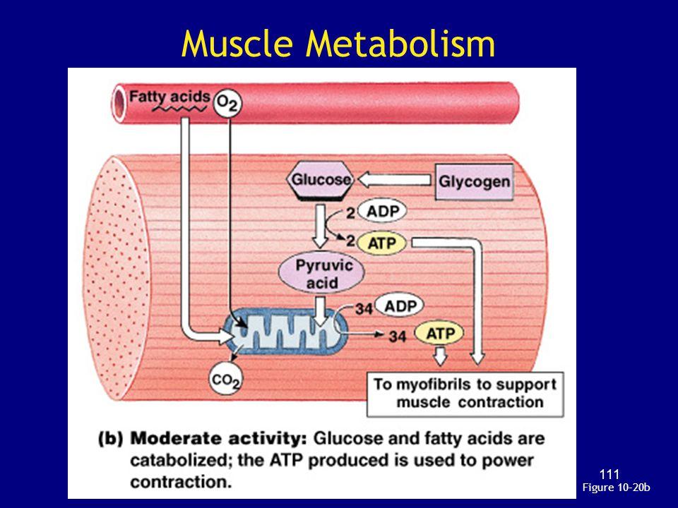 Muscle Metabolism Figure 10–20b