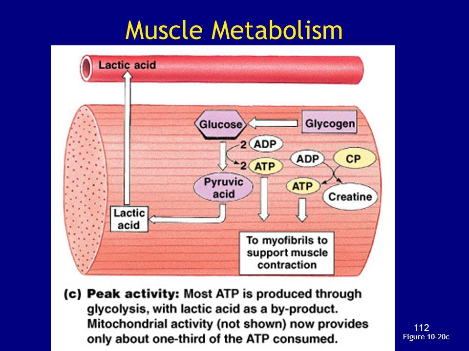 Muscle Metabolism Figure 10–20c