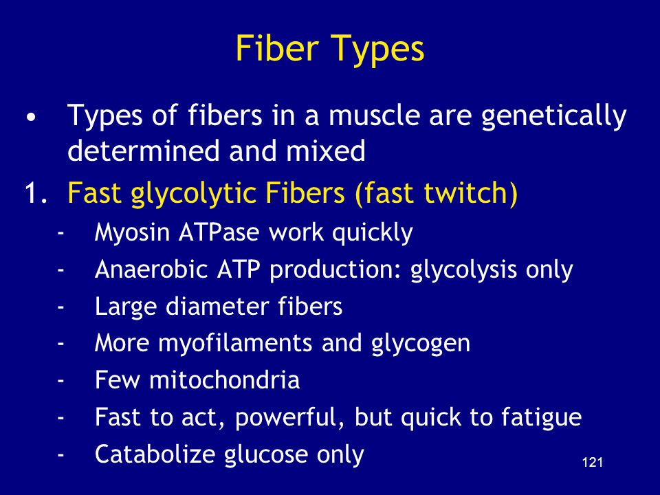 Fiber Types Types of fibers in a muscle are genetically determined and mixed. Fast glycolytic Fibers (fast twitch)