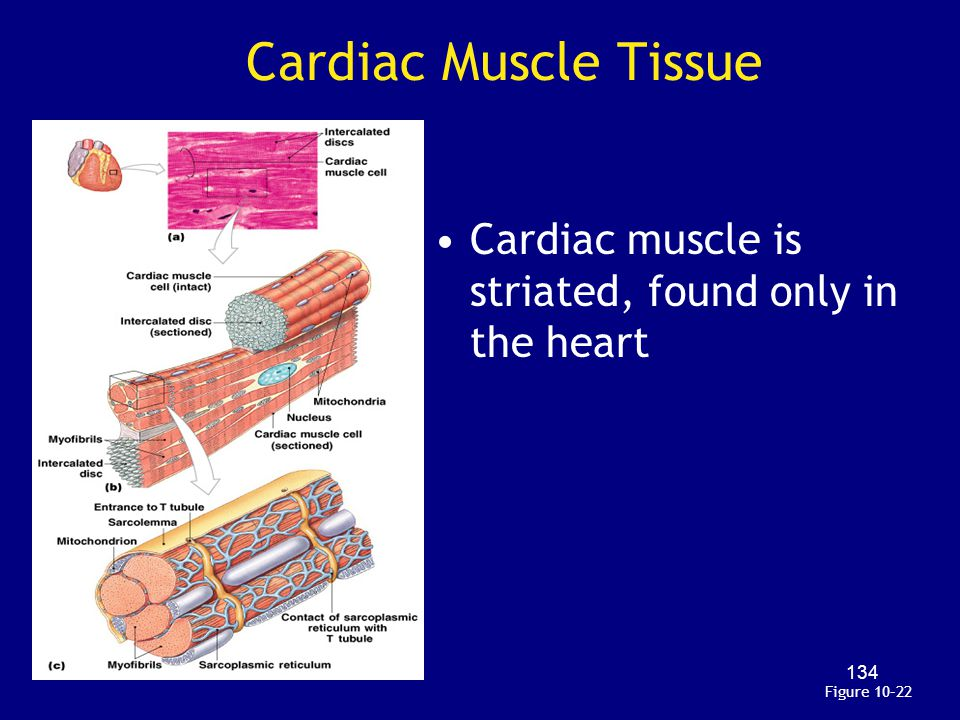 Cardiac Muscle Tissue Cardiac muscle is striated, found only in the heart Figure 10–22