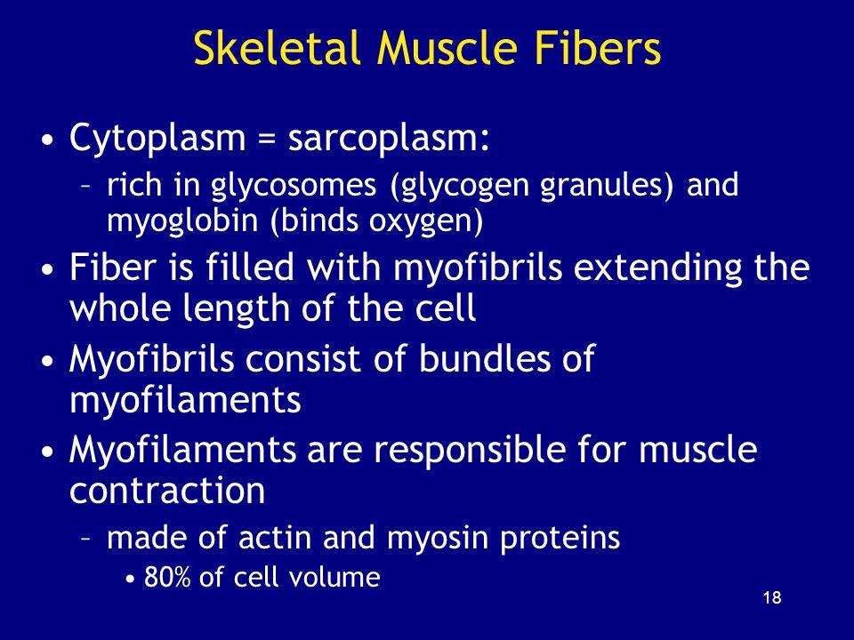Skeletal Muscle Fibers