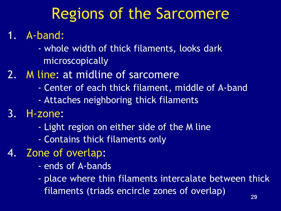 Regions of the Sarcomere