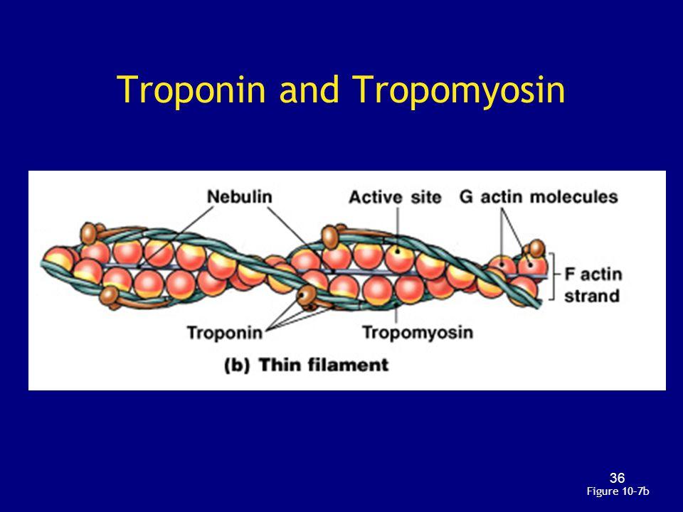 Troponin and Tropomyosin