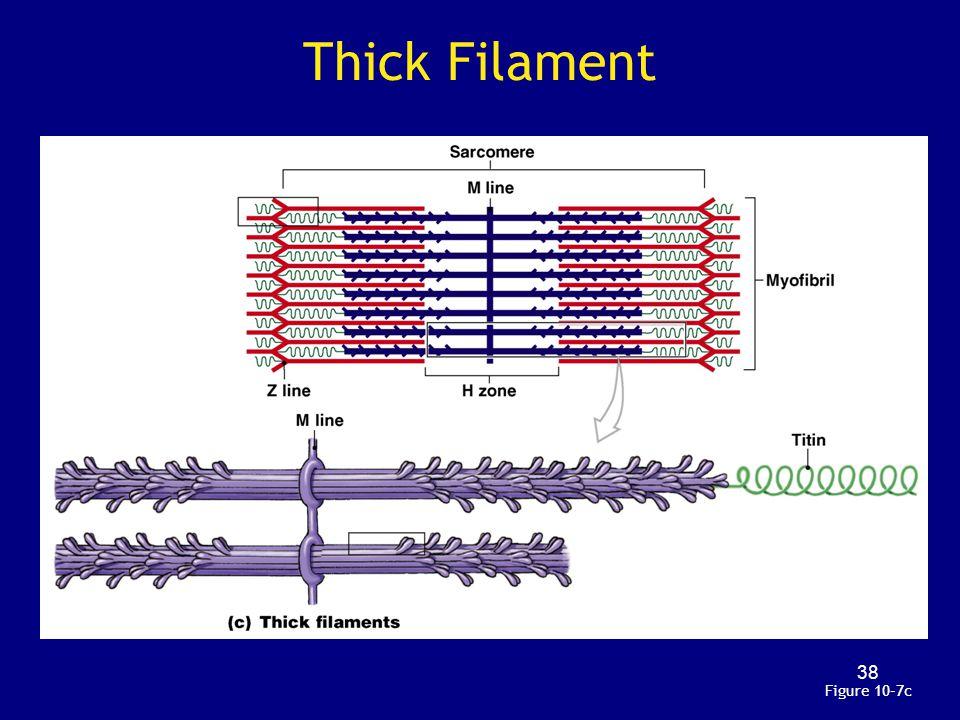 Thick Filament Figure 10–7c