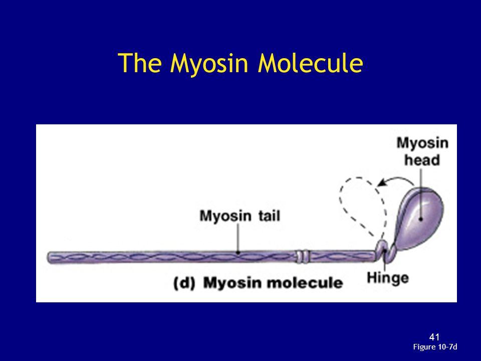 The Myosin Molecule Figure 10–7d