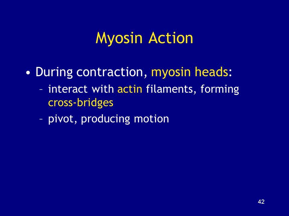 Myosin Action During contraction, myosin heads: