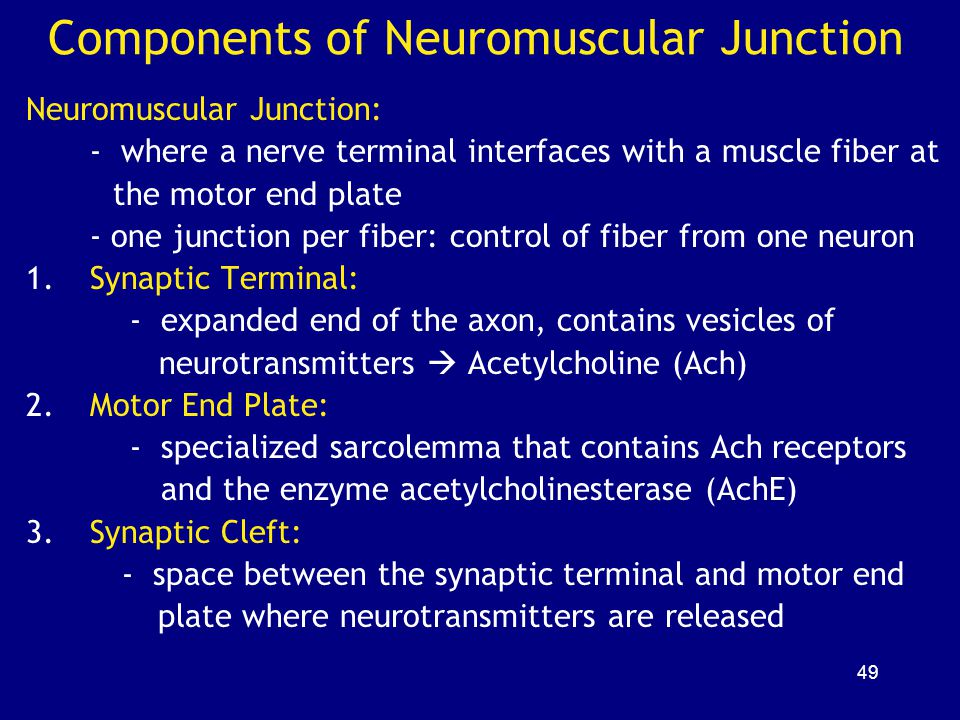 Components of Neuromuscular Junction