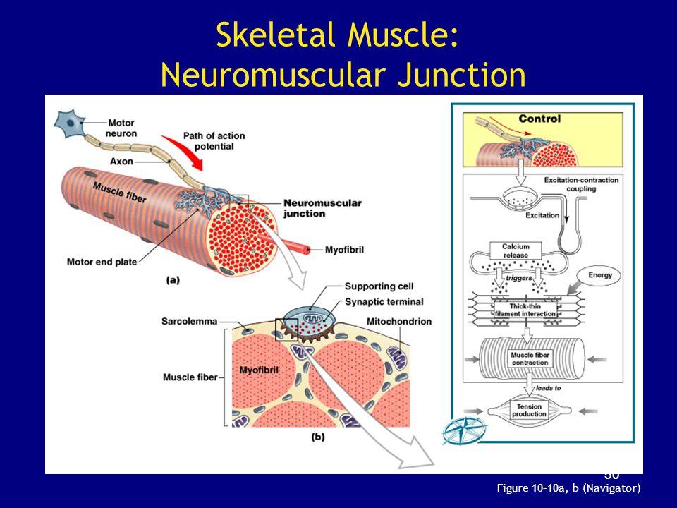 Skeletal Muscle: Neuromuscular Junction