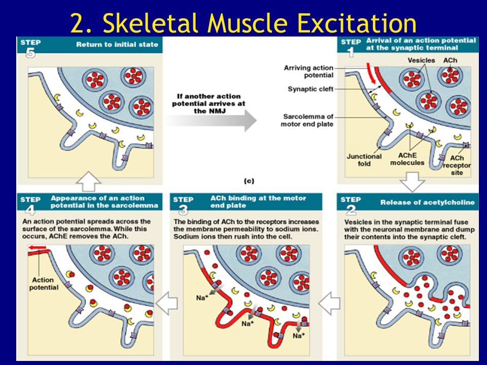 2. Skeletal Muscle Excitation