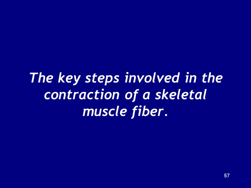 The key steps involved in the contraction of a skeletal muscle fiber.