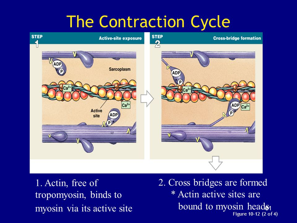 The Contraction Cycle 1. Actin, free of tropomyosin, binds to myosin via its active site. 2. Cross bridges are formed.